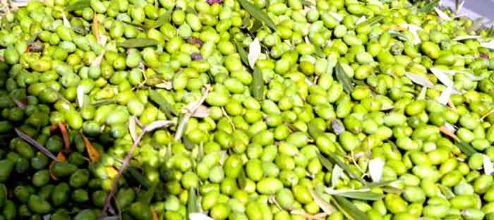 Olive-photo