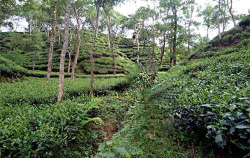 Tea-Garden-Sylhet