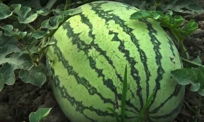 watermelon-benefits-in-summer