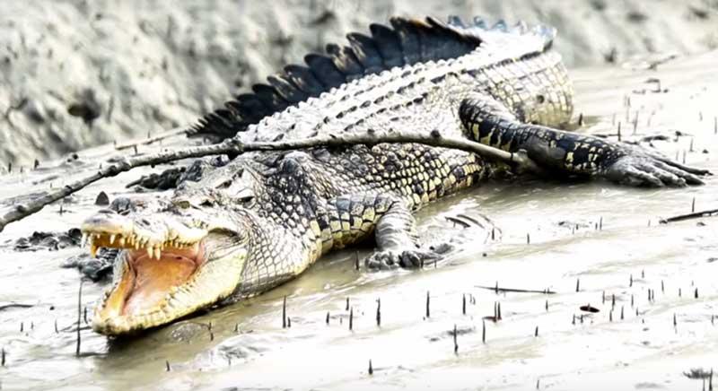 Sundarban-crocodile