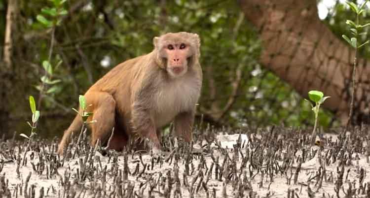 Sundarban-monkey