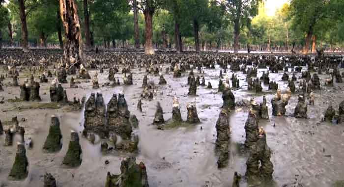 Sundarban-tree