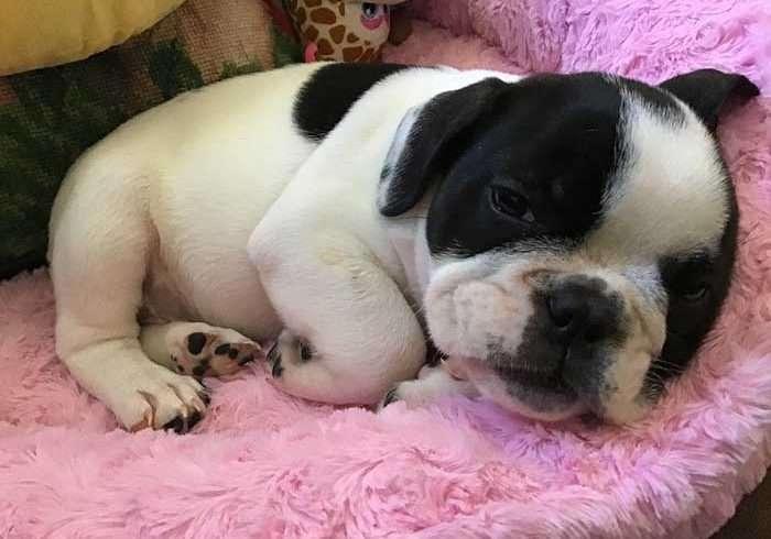bulldog adoption
