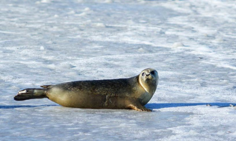 Gray-Seal-on-Ice
