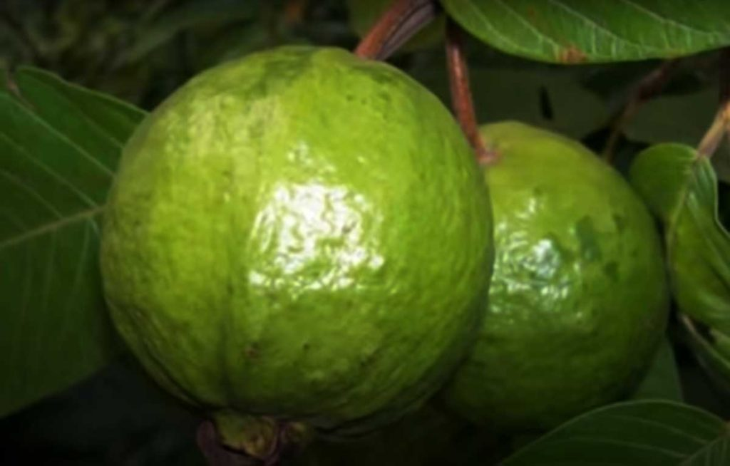 Guava benefits for health