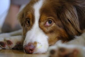 Australian-Shepherd-Dog