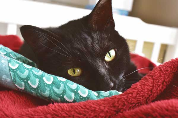 Cleaning-pet-beds--a-Black-Cat