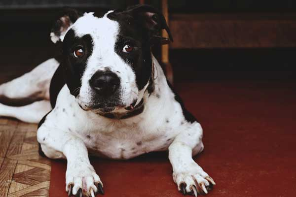 Adult-Black-and-White-Pit-Bull