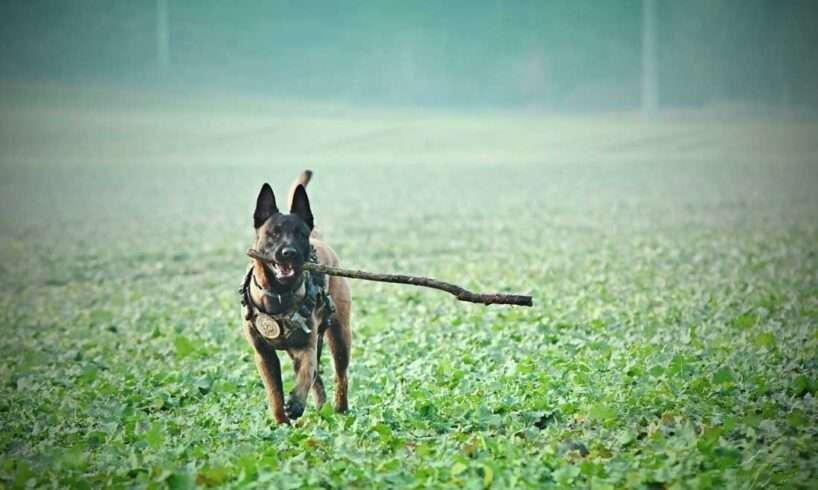 Adult-Tan-Belgian-Malinois-Biting-Stick-on-Grass-Field