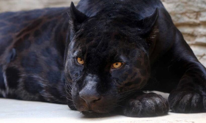 Black-Panther-in-the-Zoo