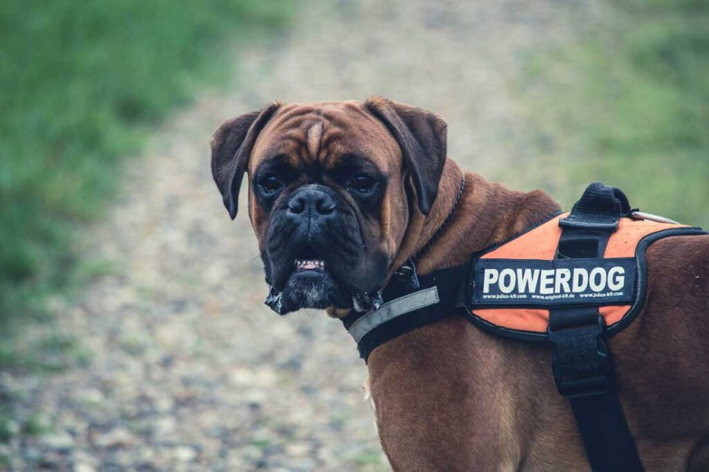 Dog breeds- Boxer (Germany)