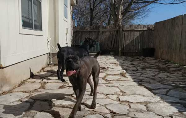Dog breeds- Cane Corso