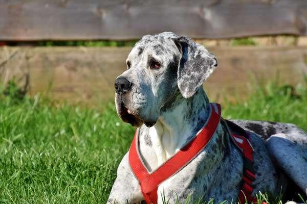 Dog breeds- Great-Dane