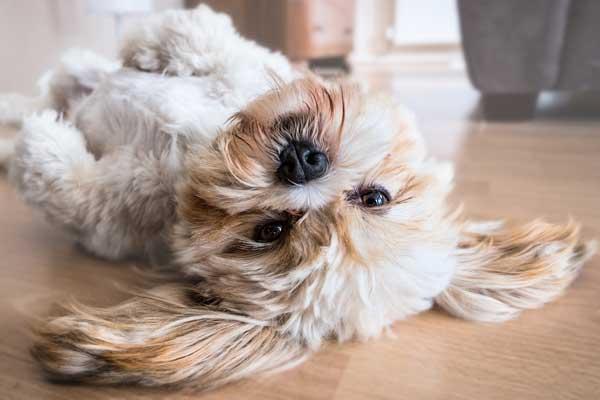 Lhasa-Apso-Dog-Lying-on-the-Floor