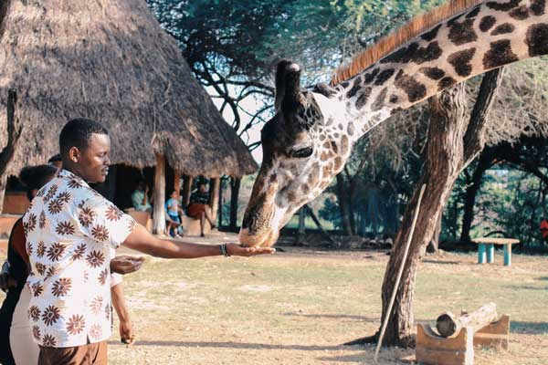 Person-Feeding-Giraffe