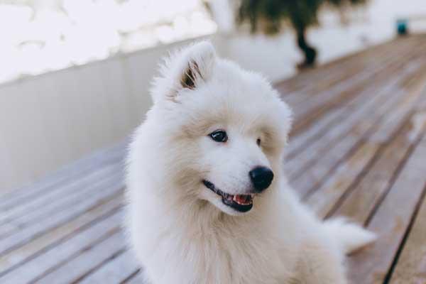Child friendly dog breeds- Samoyed-dog-on-wooden-terrace