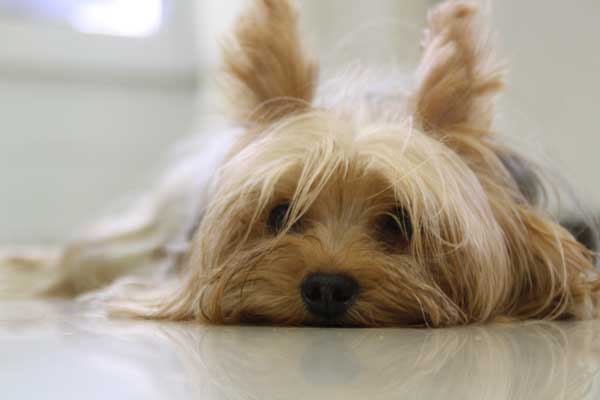 Child friendly dog breeds- Yorkshire-Terrier-Slumped-on-the-Floor