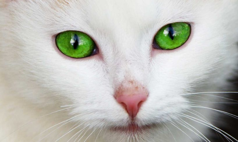 Cat-origin-of-domestication