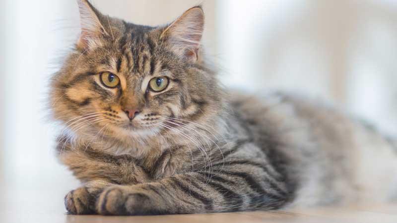 cat-breeds-worldwide