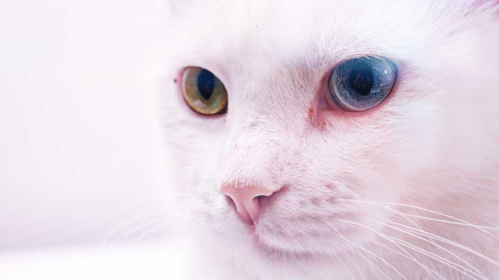 cat a pet animal