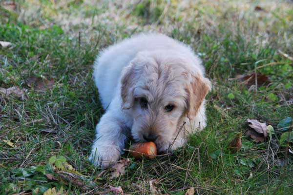 dog-food-carrot
