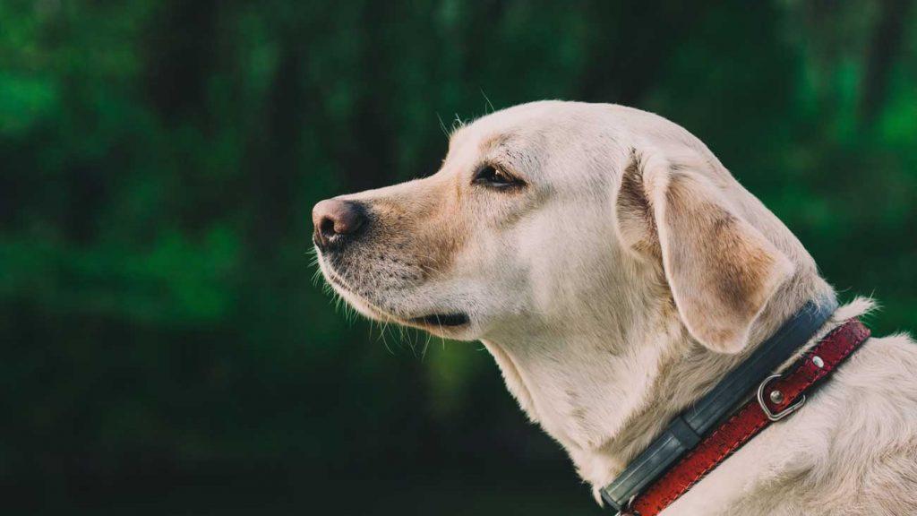 I need a dog Labrador Retriever