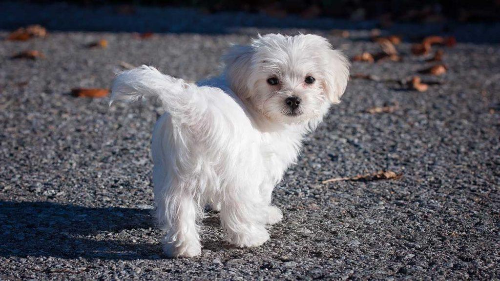 I need a dog Maltese-puppy