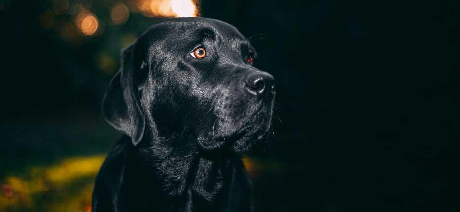 Afador dog breed information