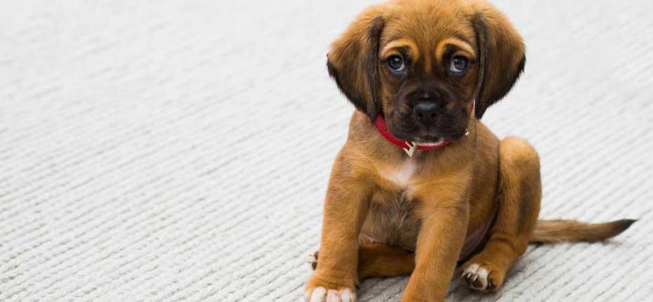 Brown-and-Black-German-Shepherd-Puppy
