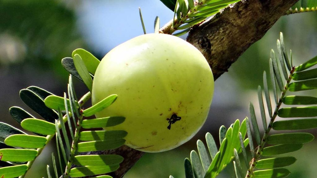 Eat Amla to stop white vaginal discharge