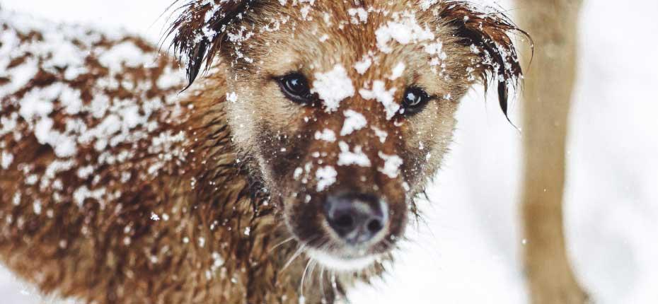 Estrela-Mountain-Dog