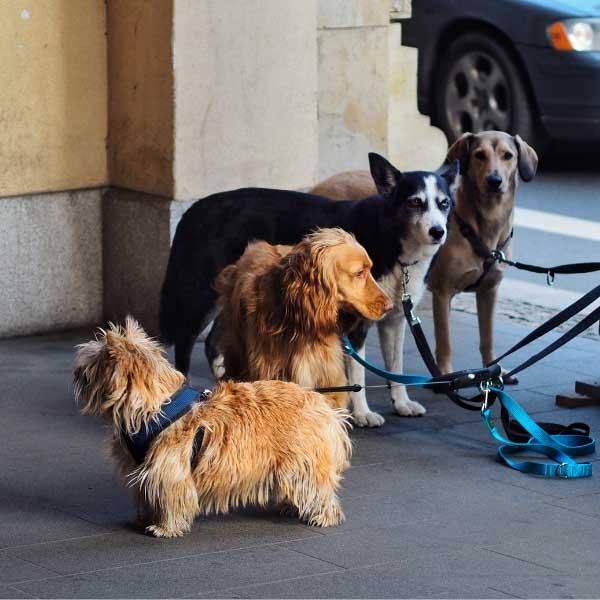 Norwich Terrier dog breed