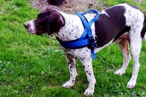 Pointer-dog-breed