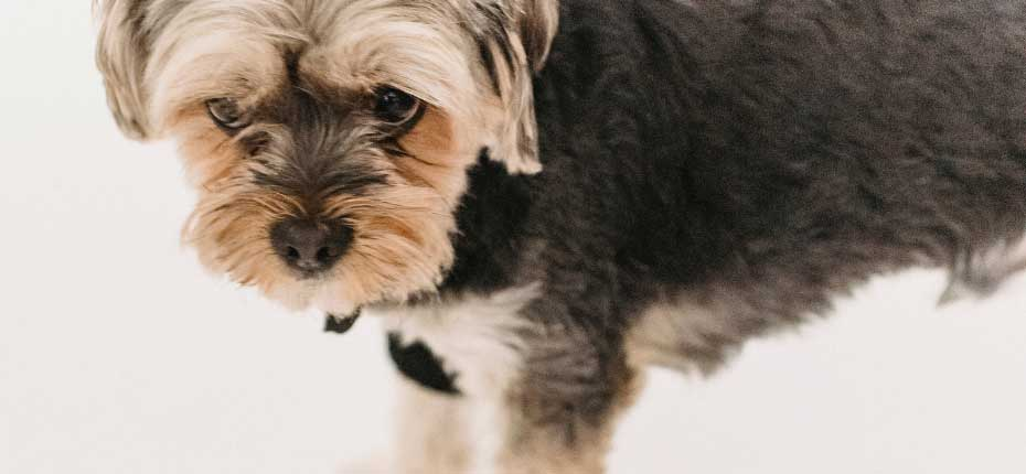 Yorkshire-Terrier dog info