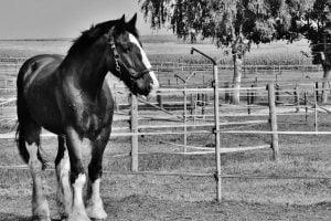 Big horse breeds