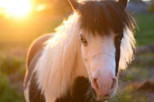 Smallest horse